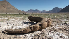 Marco Polo sheep horn, yaks, arid landscape, Pamirs, Tajikistan Stock Footage