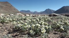 Flowers in the Pamirs Stock Footage