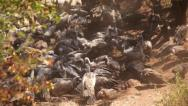 Stock Video Footage of Vultures Feasting 02 HD