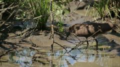 Hamerkop Bird Stock Footage