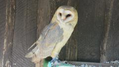 Barn owl (tyto alba) Stock Footage