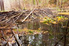beaver dam in fall colored forest wetland swamp - stock photo
