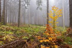wet and foggy peaceful fall day in the forest - stock photo