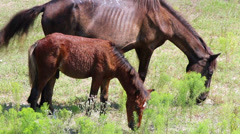 Young wild colt grazes with mother outer banks nc Stock Footage