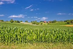 Corn field in agricultural rural landscape Stock Photos