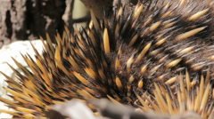Echidna - Australian egg-laying Monotreme Stock Footage