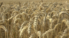 Stalks of wheat blowing gently in the wind. Stock Footage