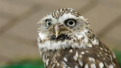 Little owl (Athene noctua). Stock Footage