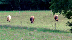 Cows grazing in a slovenian meadow - stock footage