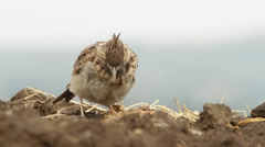 An immature of Crested Lark resting on the ground / Galerida cristata Stock Footage