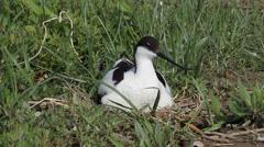 Pied Avocet nesting (Recurvirostra avosetta) Stock Footage