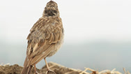 Stock Video Footage of An immature of Crested Lark resting on the ground / Galerida cristata