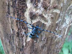 Rosalia alpina (L.) male (Coleoptera, Cerambycidae) sitting on a dead tree Stock Photos