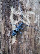 Rosalia alpina (L.) male (Coleoptera, Cerambycidae) sitting on a dead tree - stock photo