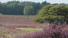 Dutch Heather and running people Stock Footage