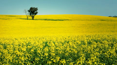 Yellow Canola Field Landscape - stock footage