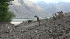 Curious goats in Wakhan Valley Stock Footage