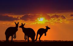 Kangaroos under sunset Stock Photos
