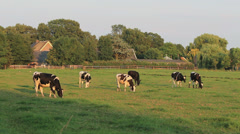 Cows grazes in Holland Stock Footage