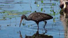 Limpkin Water Bird Foraging Stock Footage