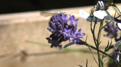 Close Up of Bee on lavender collecting pollen on a sunny day. Stock Footage