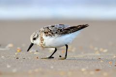 Sanderlings (calidris alba) Stock Photos