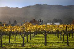 Fall wine vines yellow leaves vineyards fog tree napa california Stock Photos