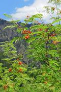rowan berry summertime on the branch - stock photo