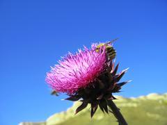 bee landing on the thistle - stock photo