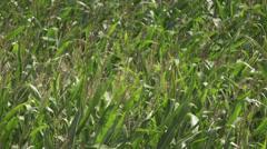 Cornfield Sweet Corn Stock Footage