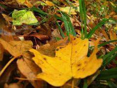 yellow fallen leaf and green grass on the autumn forest ground - stock photo