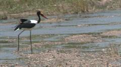 Walking Saddle-billed Stork Stock Footage