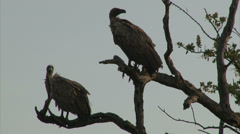 White-backed Vultures on bare tree trunk Stock Footage