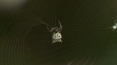 Spined Micrathena (Micrathena gracilis) Spider - Female Spinning Web 4 Stock Footage