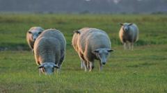 Grazing sheep in Holland, Medium close Stock Footage