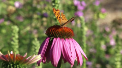 Comma butterfly (Polygonia c-album) echinacea purpurea - eye level Stock Footage