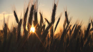 Stock Video Footage of Wheat Harvest in Field at Sunset, Crop of Cereals, Agriculture Land, Farming