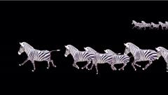 a group of zebra running. - stock footage