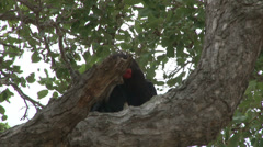 Southern Ground Hornbill on the tree Stock Footage