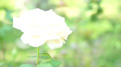 White Rose Stock Footage