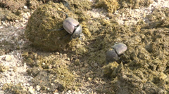Scarabaeus Beetles are rolling dung ball Stock Footage