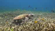 Stock Video Footage of Turtle on a reef