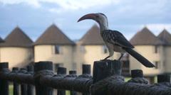 Large Beaked Bird - African Safari - Taita Hills Stock Footage
