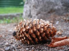 fir cone and fallen leaf laying on the ground - stock photo