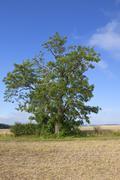 mature wolds ash tree - stock photo