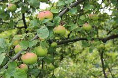Apple tree branch - stock photo