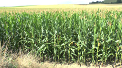 Sweetcorn field in Belgium. - stock footage