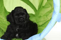 Puppy agility Stock Photos