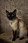 Inquiring look of a sitting Siamese cat Stock Photos