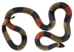Amazonian coral snake (micrurus spixii obscurus). a venomous snake from the e Stock Photos